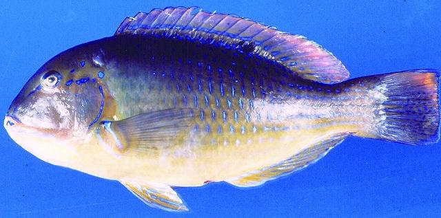 シロクラベラ(県漁連HPより)